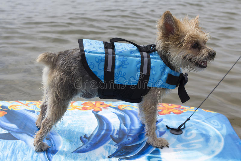 Dog surfing on the lake. Little wet dog surfing on the lake with small waves royalty free stock images