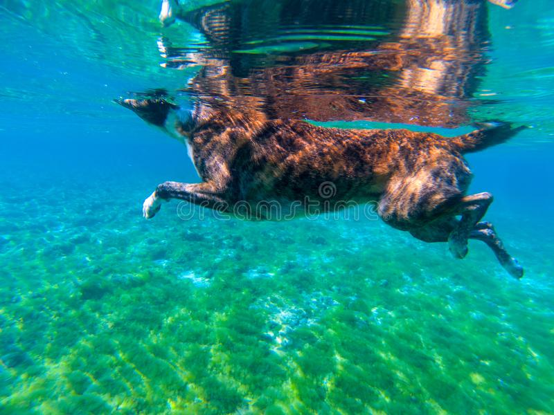 Dog swim in blue sea water, underwater photo. Dog bathing in tropical sea. Summer vacation travel with pet. Dog companion for swimming. Domestic animal holiday stock image