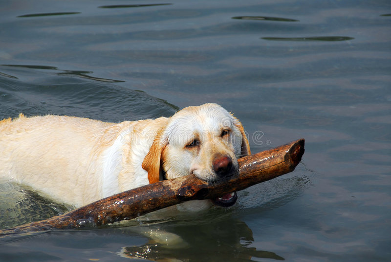 Download Dog swim stick stock image. Image of beautiful, outdoors - 1026873