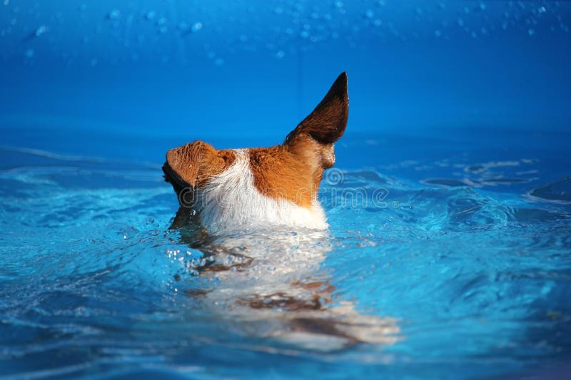 Dog Swimming Jack Russell Terrier One Floppy Ear. A Rear View of a Tan and White Jack Russell Terrier Dog swimming in water in a pool with One floppy ear royalty free stock images