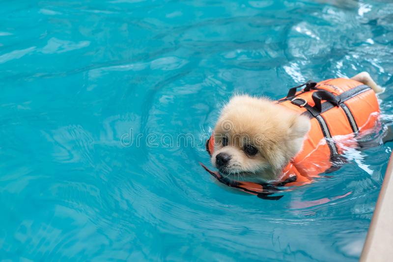 Dog swimming in pool. Dog swimming in the pool royalty free stock photo