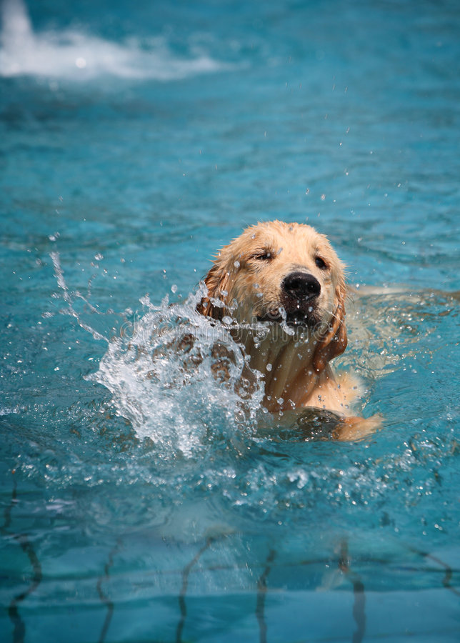 Dog swimming in pool. Golden retriever dog swimming in blue pool royalty free stock photography