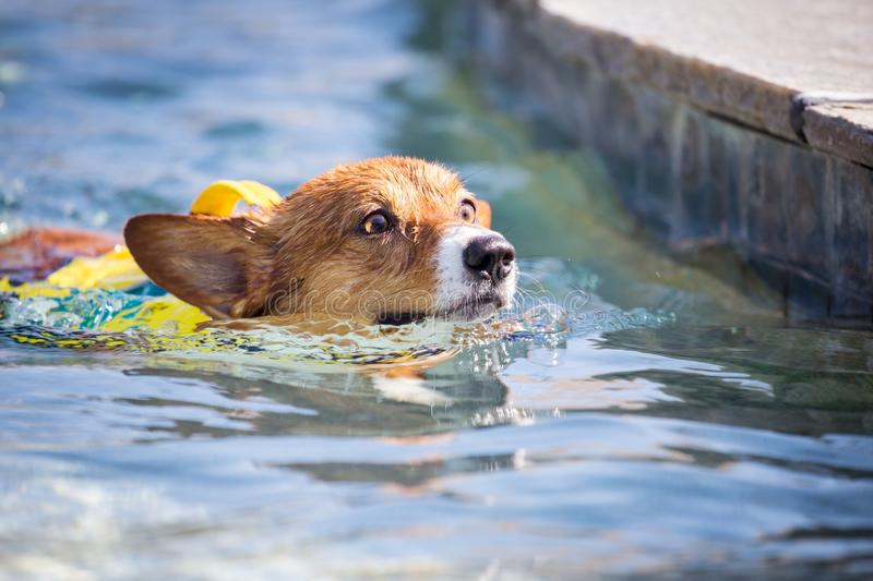 Dog swimming. In a pool royalty free stock photography