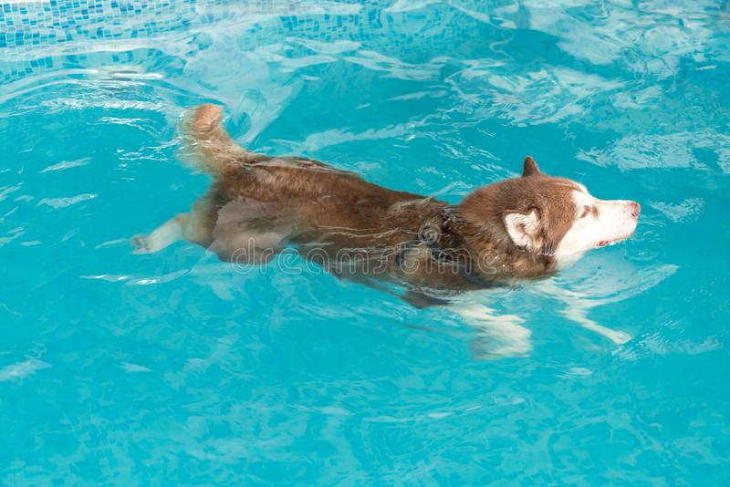 Dog swimming in pool. Dog swimming in the pool stock photography