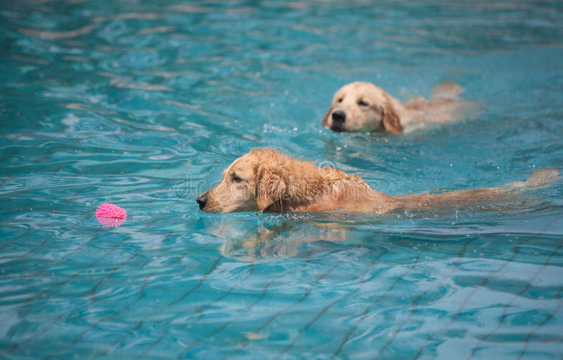 Dog swimming in pool. Two golden retriever dog swimming in blue pool stock photos