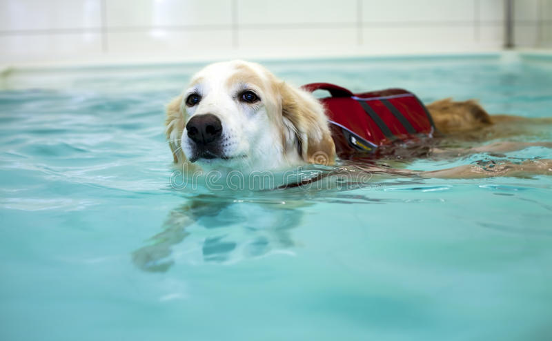 Dog is Swimming in Swimming Pool. Photo royalty free stock photo