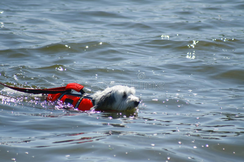 Dog swimming. In water with life vest stock photos