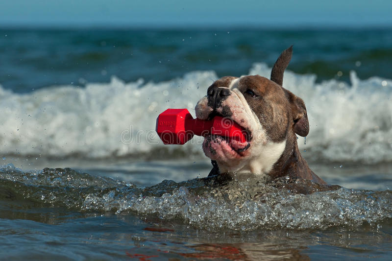 A dog swims with her toy in a wavy sea. Old English Bulldog catching a red toy and swimming in a wavy sea with waterlilies in Sweden