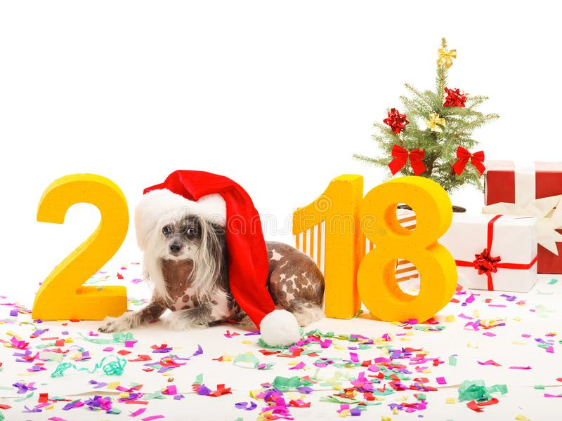 Dog symbol of the New Year 2018. Dog Chinese Crested lies near the decoration and depicts a figure of zero. Isolated . royalty free stock photos