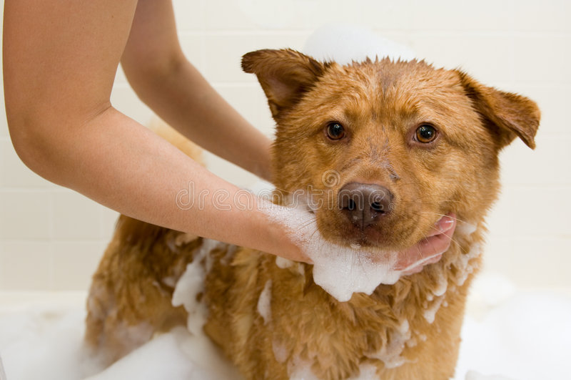Dog taking a bath royalty free stock photography