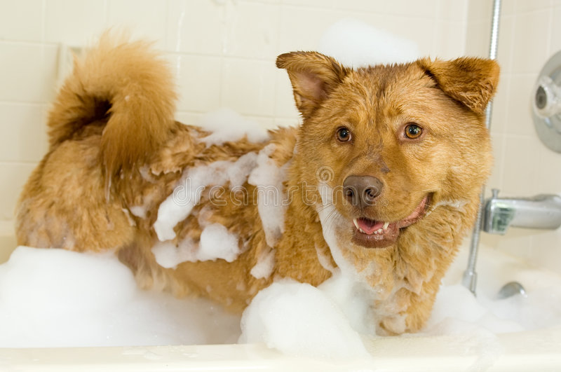 Dog taking a bath stock photography