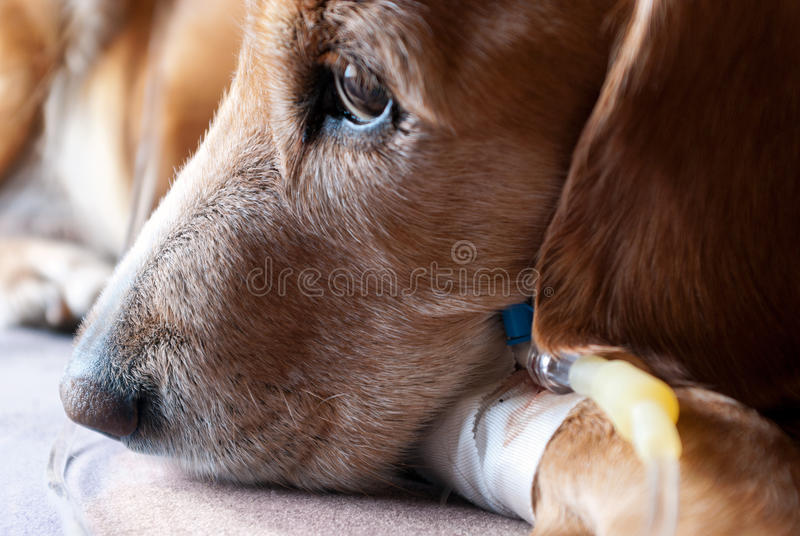 Dog taking infusion closeup royalty free stock photos