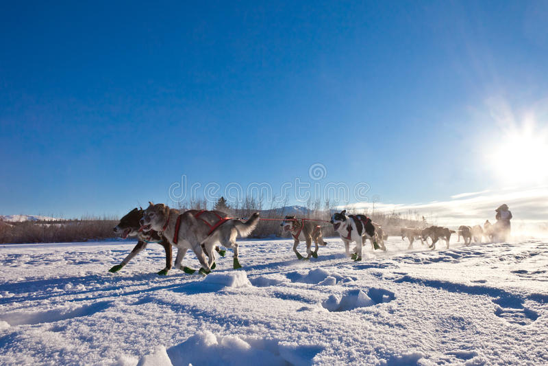 Dog team pulling sled stock images