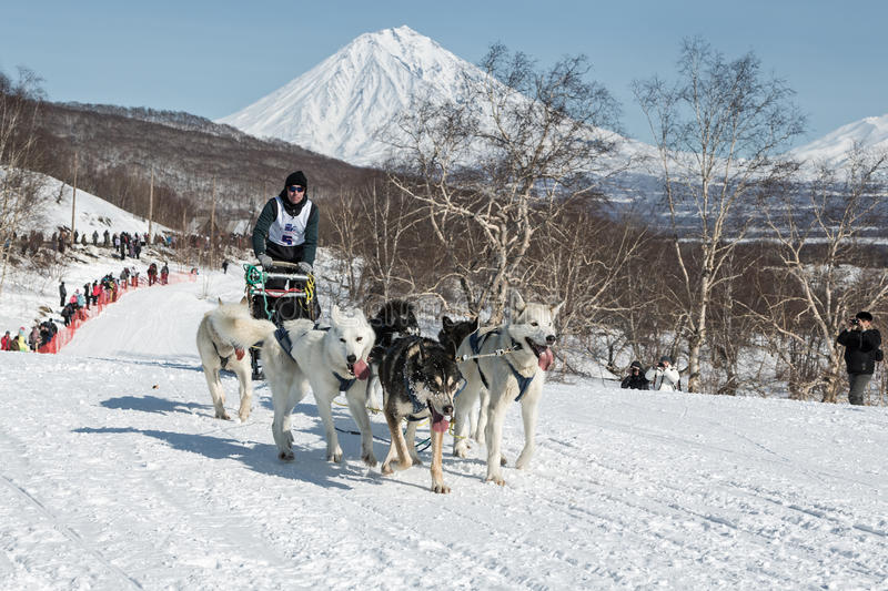 Dog team is running on snowy slopes on background of volcanoes. KAMCHATKA, YELIZOVO CITY, RUSSIA - MAR 2, 2013: Kamchatka Dog Sledge Racing Yelizovsky sprint stock image