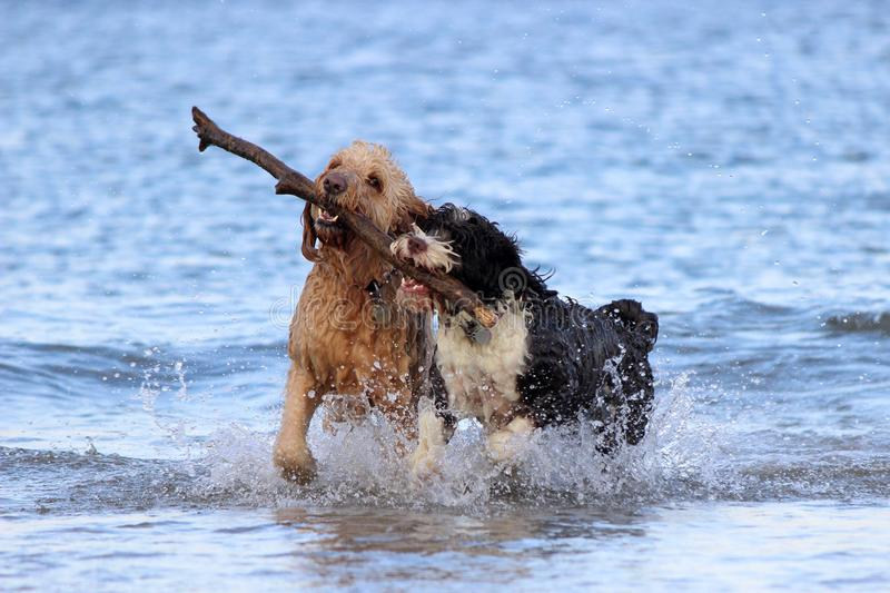 Dog Teamwork - Fetching a Stick royalty free stock photos