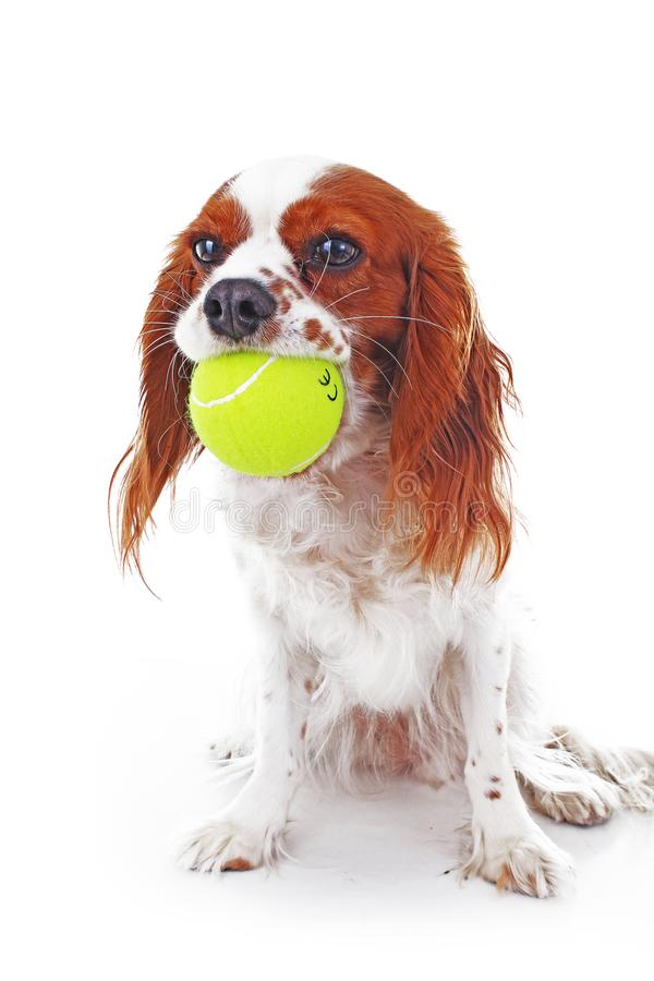 Dog with tennis ball. Cavalier king charles spaniel dog photo. Beautiful cute cavalier puppy dog on isolated white. Studio background. Trained pet photos for royalty free stock photos