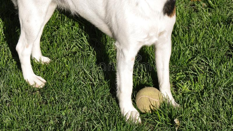 Dog with tennis ball royalty free stock images
