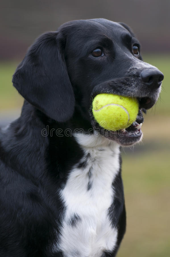 Dog And Tennis Ball royalty free stock photo