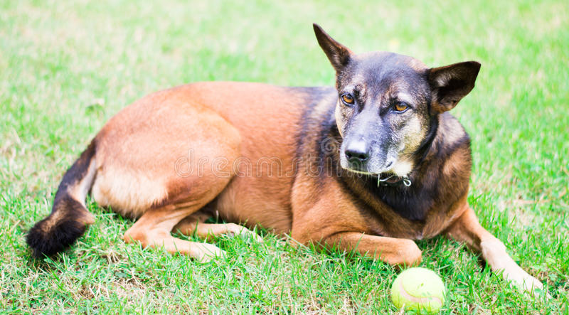 Dog with a tennis ball stock image