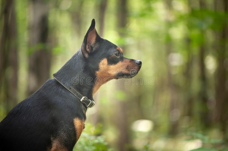 Dog,  terrier in the forest. The concept of a lost. Hungry dog stock photos