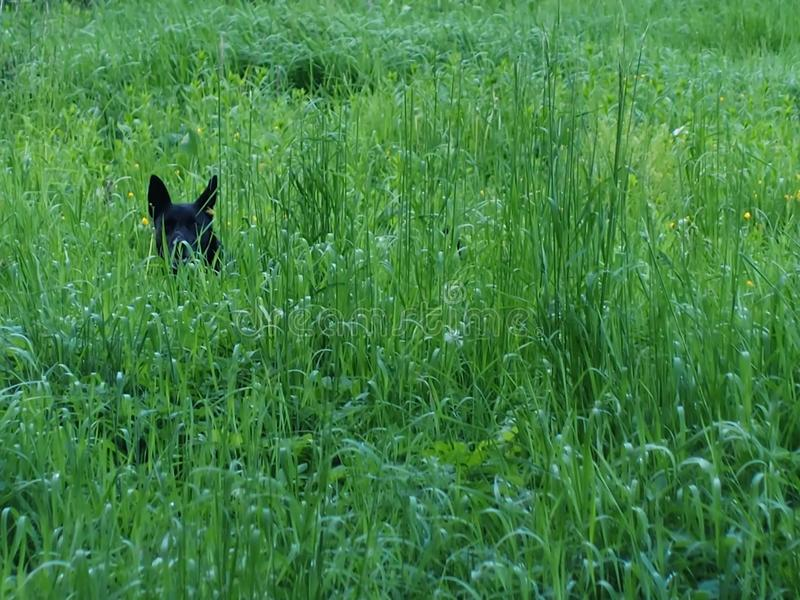 The dog is in thick tall grass maybe looks or maybe hunting. Green cover grass high in the Bush hid the dog ready for what whether to run or to play either royalty free stock photos