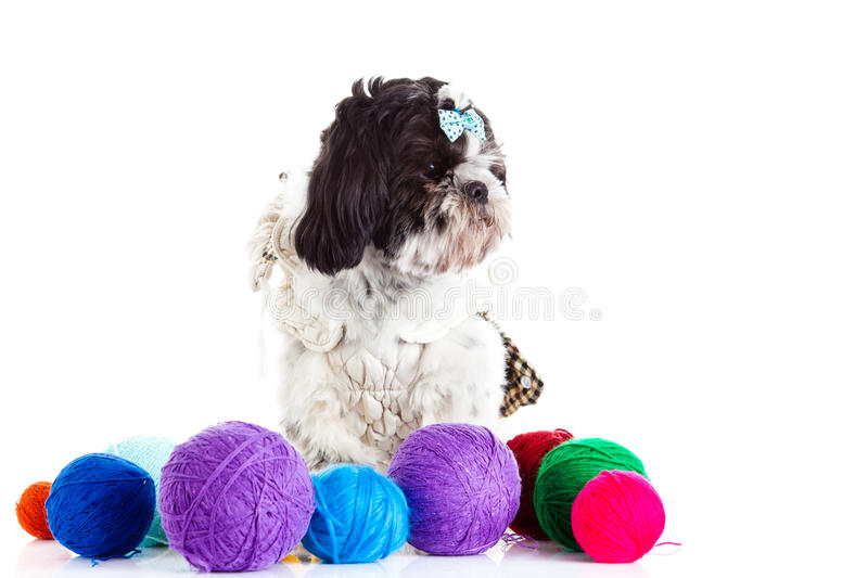 Dog with threadballs isolated on white background. Shih tzu with threadballs close-up objects for postcard design nice pet image royalty free stock image