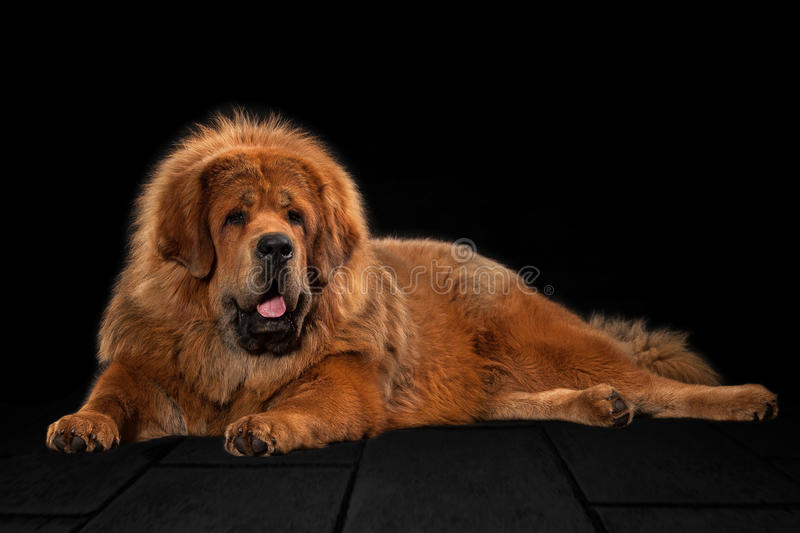 Dog. Tibetan mastiff on black background royalty free stock image