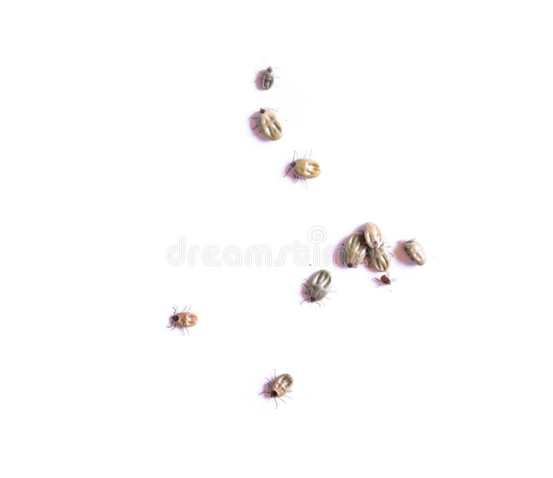 Dog tick isolated on white background, Pet heatlh care and medical concept royalty free stock photo