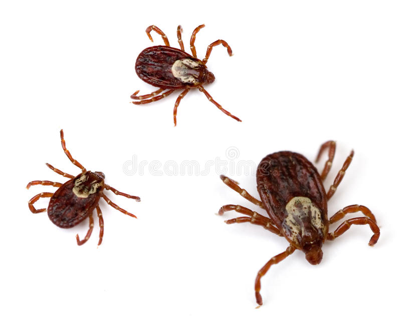Download Dog Ticks stock image. Image of white, group, insect - 14324495