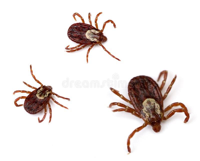 Dog Ticks. Three American Dog Ticks (Dermacentor variabilis) isolated on white background royalty free stock photo