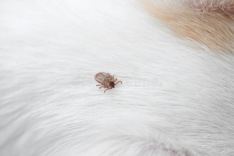 Dog ticks stock photos
