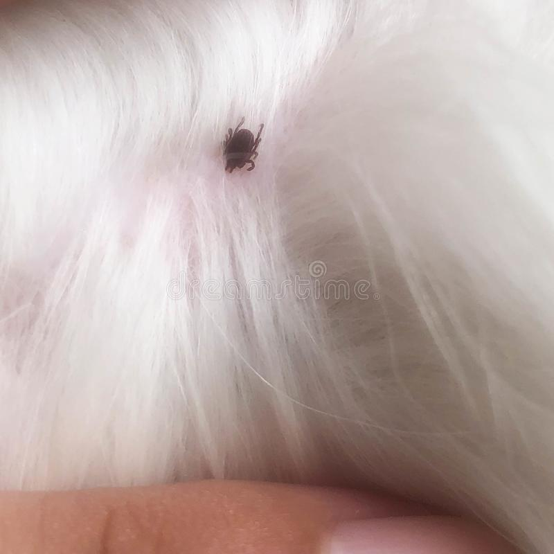 Dog ticks are eating blood royalty free stock image