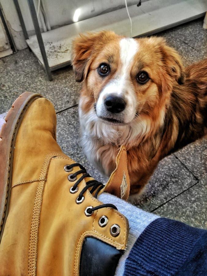 Dog and Timberland royalty free stock photo