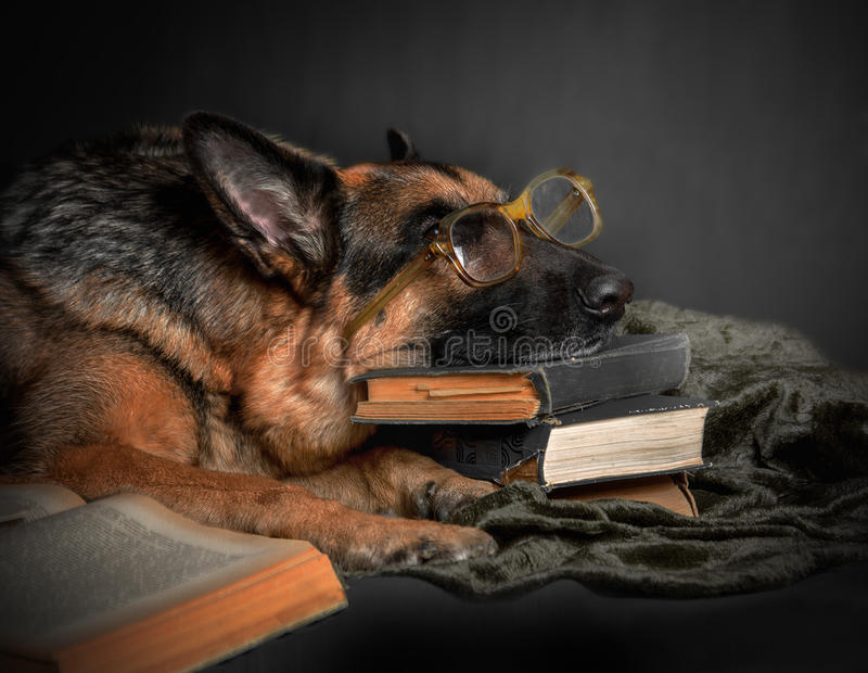 Dog tired of reading. The dog, a German Shepherd, resting, tired of studying royalty free stock photo