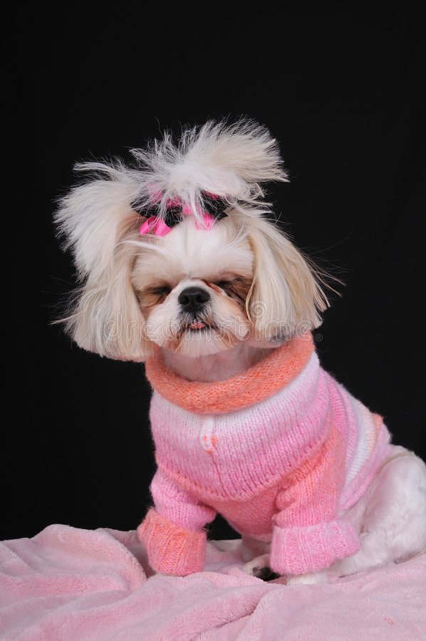 Dog Tired Shih Tzu. Shih Tzu Puppy wearing a sweater and bows in her pigtails, falling asleep while modeling and sitting up. Falling asleep on the job. Dog Tired royalty free stock photos
