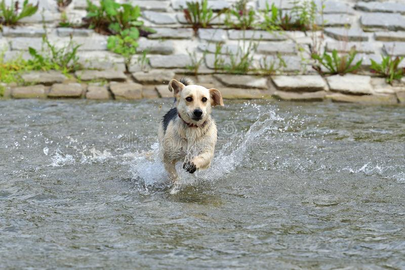 Dog jumping in the river stock photos