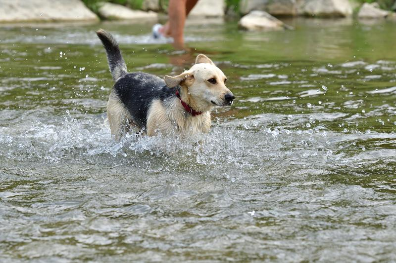 Dog to refresh in water during hot summer stock photos