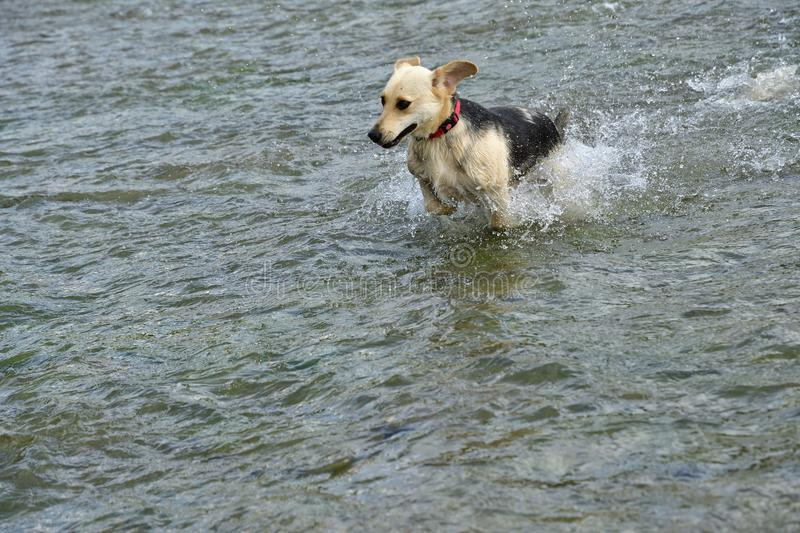 Dog to splash in water during hot summer stock image