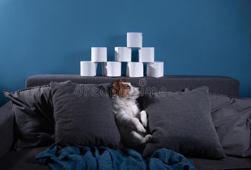 Dog with toilet paper. Jack Russell Terrier is surprised. Panic, virus, pandemic. Isolation royalty free stock photography