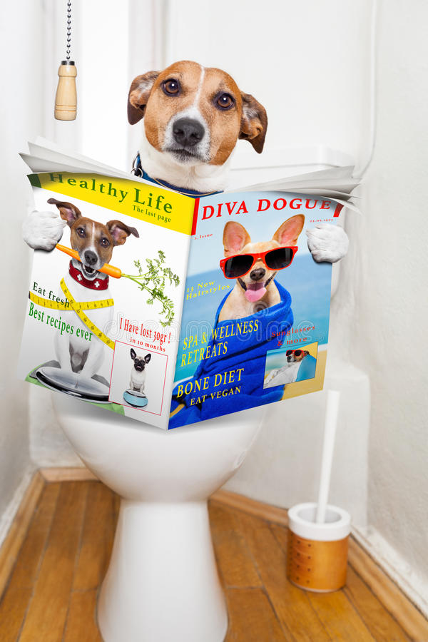 Dog on toilet seat. Jack russell terrier, sitting on a toilet seat with digestion problems or constipation reading the gossip magazine or newspaper stock image