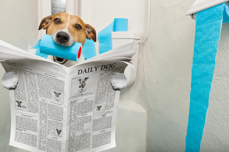 Dog on toilet seat. Jack russell terrier, sitting on a toilet seat with digestion problems or constipation reading the gossip magazine or newspaper stock photo