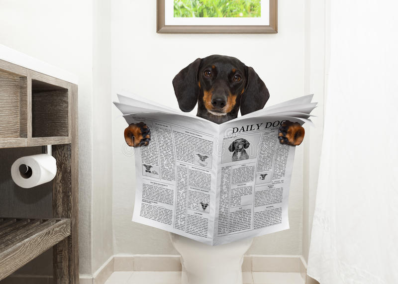 Dog on toilet seat reading newspaper royalty free stock image