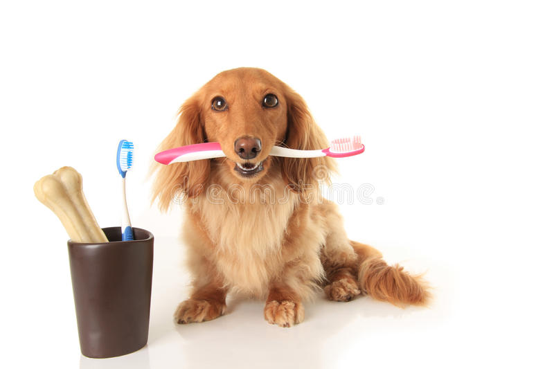 Dog and tooth brush. Dachshund dog holding a toothbrush