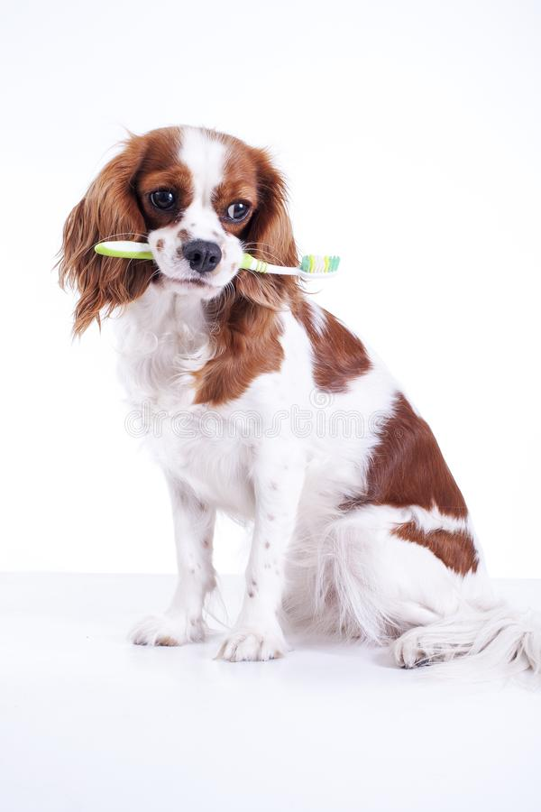 Dog with toothbrush. Beautiful friendly cavalier king charles spaniel dog. Purebred canine trained dog puppy. Blenheim. Spaniel dog puppy. Cute stock image