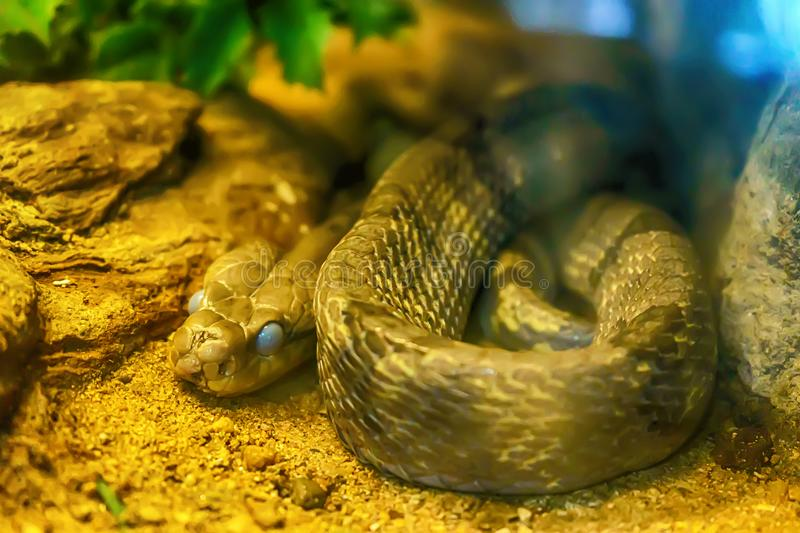 Dog-toothed cat snake. Curve on the sand royalty free stock photography