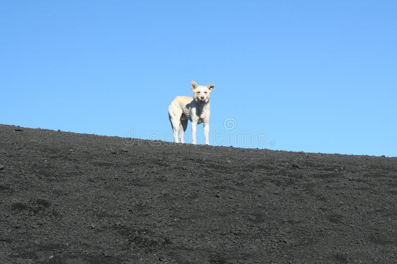 Dog on the top of Etna Volcano royalty free stock photography