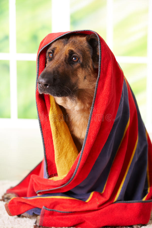 Download Dog in towel stock image. Image of cute, animals, carpet - 12890271