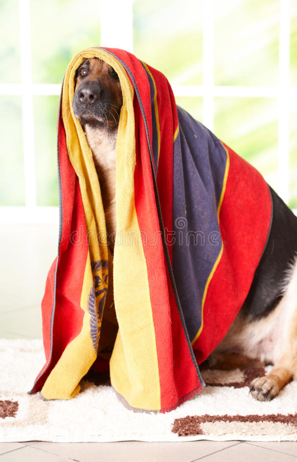 Download Dog in towel stock photo. Image of adorable, adult, doggy - 14548558