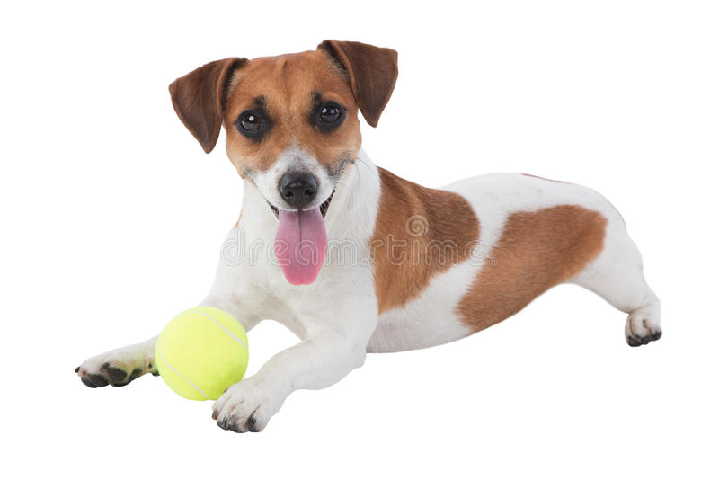 Dog with toy. Jack Russell terrier with tennis ball isolated on white background stock images