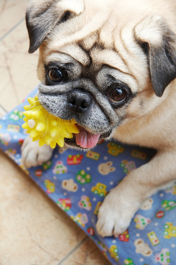 Dog and toy. Pug biting a plastic toy stock photography